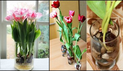 Iată cum poți avea lalele înflorite în casă tot anul!