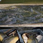 Foto: Trei tone de pește vor fi nimicite la Ialoveni. Produsul păstrat în condiții insalubre, se vindea în piețele din Capitală
