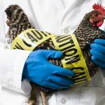 Foto: Noi cazuri de gripă aviară în Bulgaria