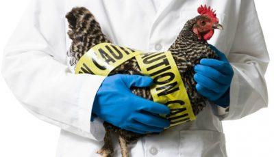 Noi cazuri de gripă aviară în Bulgaria
