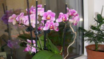 Cum poți să salvezi o orhidee ofilită?