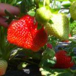 Foto: În Moldova s-au copt primele căpșuni