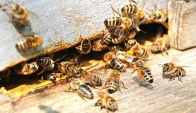 Alertă! Doi oameni au murit, iar altul este în şoc anafilactic după ce au fost atacaţi de albine