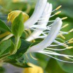 """Foto: ,,Mâna Maicii Domnului"""", planta care poate vindeca toate bolile"""