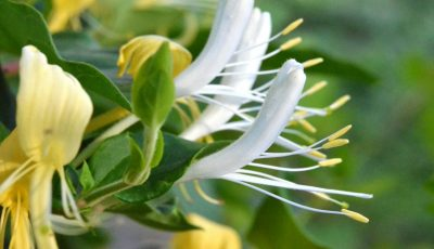 """,,Mâna Maicii Domnului"""", planta care poate vindeca toate bolile"""
