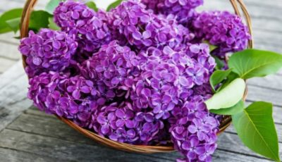 Tratamente naturiste cu flori de liliac. Iată cum poți să le utilizezi!