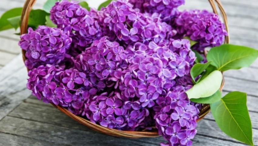 Foto: Tratamente naturiste cu flori de liliac. Iată cum poți să le utilizezi!