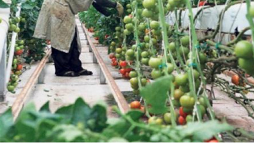 Foto: Roșii contaminate. ANSA a depistat două focare de dăunători la culturi crescute în sere
