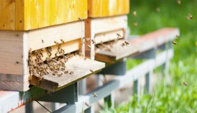 Toate albinele din Hâncești au murit după ce un câmp cu mazăre a fost stropit cu o substanță necunoscută