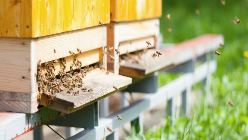 Foto: Toate albinele din Hâncești au murit după ce un câmp cu mazăre a fost stropit cu o substanță necunoscută