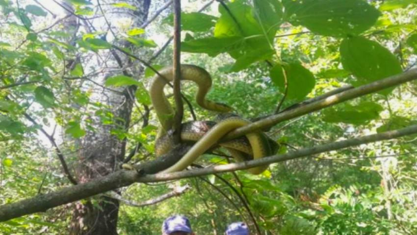 Foto: Un șarpe imens a fost surprins într-un copac, în orașul Ungheni. Specia este inclusă în Cartea Roșie a Moldovei