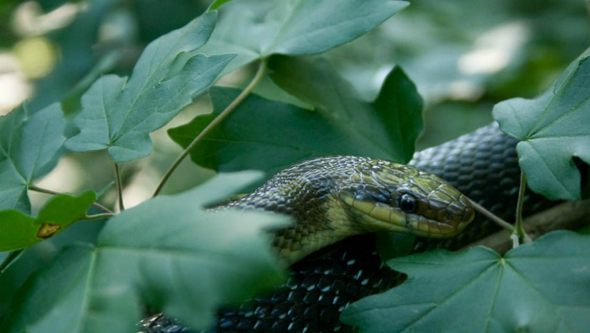 Foto: Video! Un alt șarpe uriaș a fost surprins în pădurea de la Ungheni