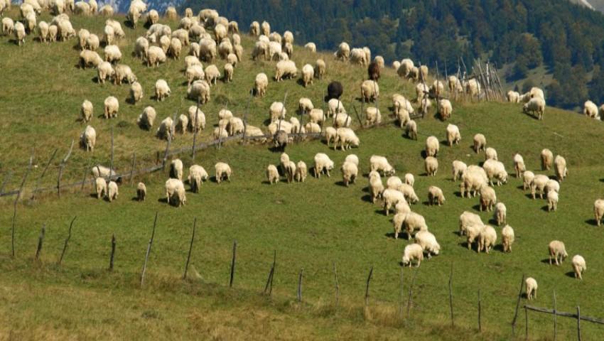 Foto: 43 de oi au murit lovite de fulger, iar ciobanul a fost grav rănit