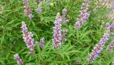 10 plante medicinale pentru combaterea infertilității