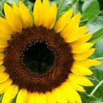 Foto: Petalele de floarea-soarelui sunt un leac naturist pentru diverse boli