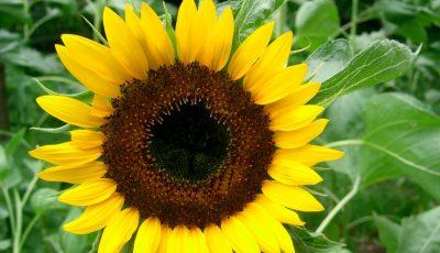 Petalele de floarea-soarelui sunt un leac naturist pentru diverse boli