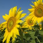 Foto: Accesul pe un teren de floarea-soarelui a fost interzis din cauza amatorilor de selfie-uri
