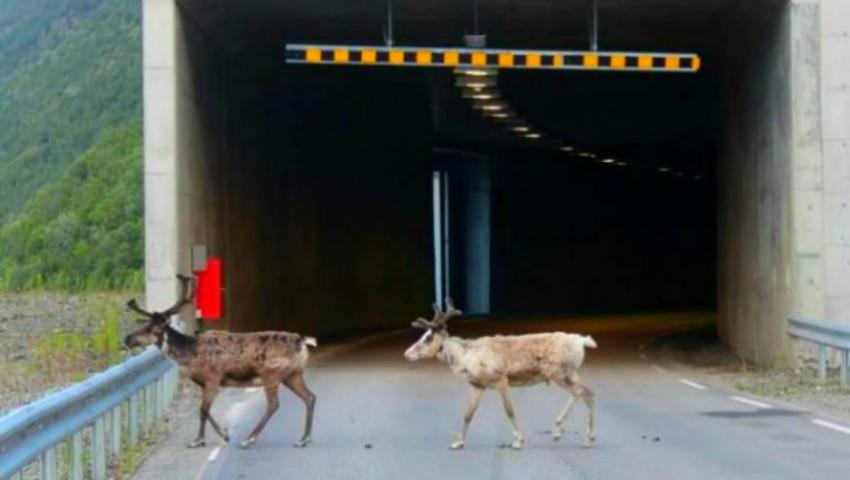 Foto: Caniculă în Arctica. Renii au invadat tunelurile rutiere din Norvegia