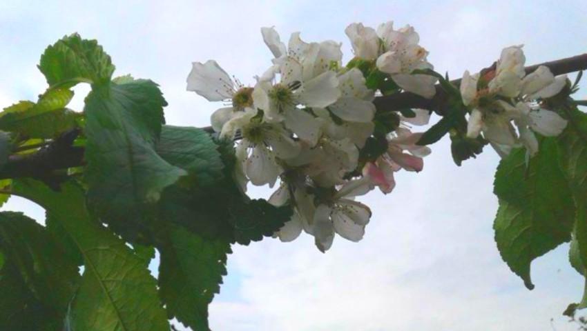 Foto: Natura a luat-o razna. În nordul țării înfloresc cireșii