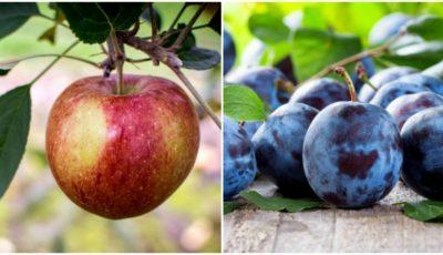 Merele moldovenești vor fi exportate în India și Israel, iar prunele, în Canada