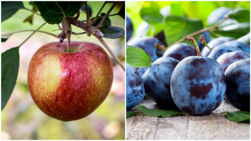 Foto: Merele moldovenești vor fi exportate în India și Israel, iar prunele, în Canada