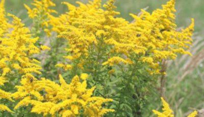 Ambrozia va fi inclusă în lista plantelor interzise în Republica Moldova