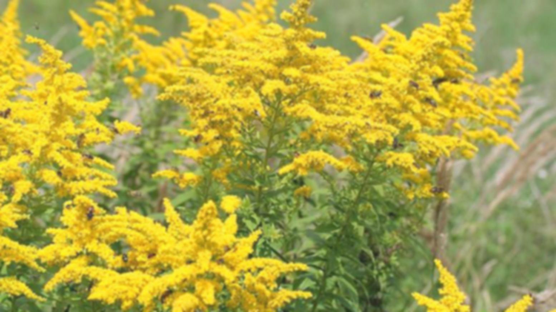 Foto: Ambrozia va fi inclusă în lista plantelor interzise în Republica Moldova