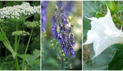 Plante otrăvitoare pe care să le eviți! Multe cresc și la noi în țară