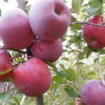 Foto: O locuitoare din orașul Ungheni oferă gratis două tone de mere