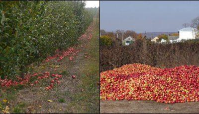 E trist! Tone de mere și prune se strică în livezile din Moldova
