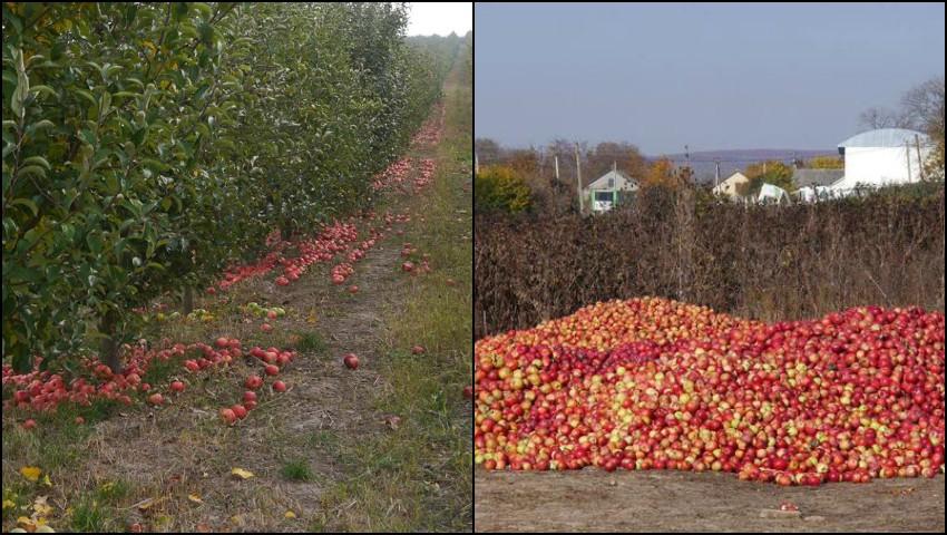 Foto: E trist! Tone de mere și prune se strică în livezile din Moldova