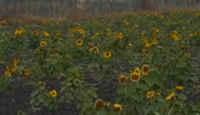 Floarea soarelui a înflorit în noiembrie pe un câmp aproape de Moldova