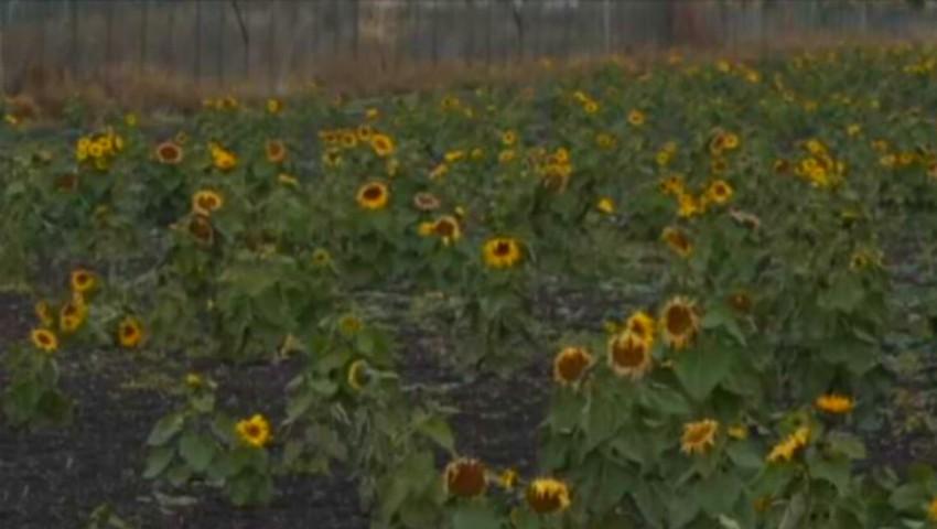 Foto: Floarea soarelui a înflorit în noiembrie pe un câmp aproape de Moldova