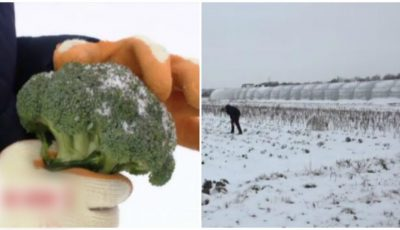 O tânără face profituri record cultivând broccoli proaspăt în zăpadă