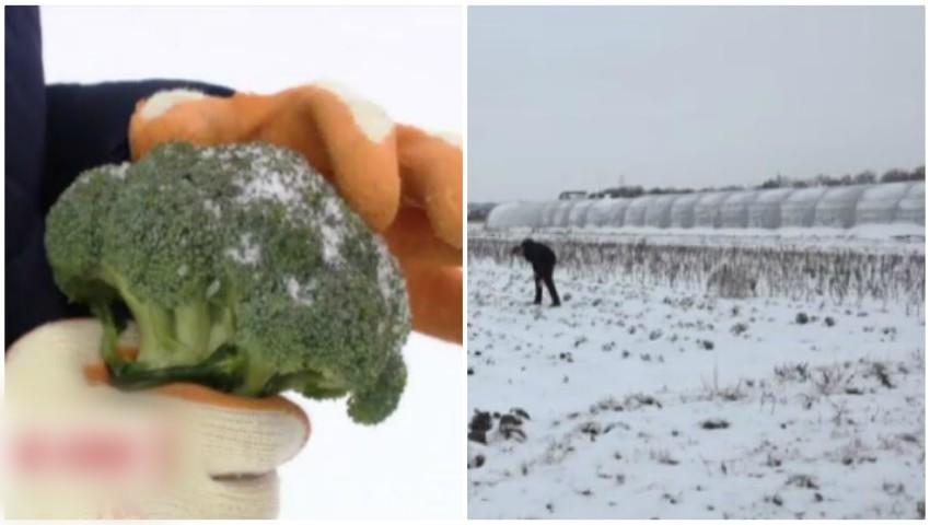 Foto: O tânără face profituri record cultivând broccoli proaspăt în zăpadă