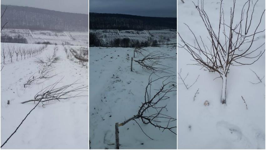 Foto: 84 de pomi au fost secerați într-o livadă. Răufăcătorii încă nu au ajuns pe mâna poliției, iar proprietarul este doborât de necaz