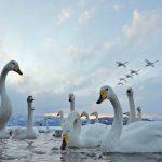 Foto: Un stol de lebede grațioase a fost surprins pe râul Nistru, lângă Soroca! Foto