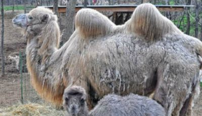 Un pui de cămilă s-a născut la Grădina Zoologică din Chişinău