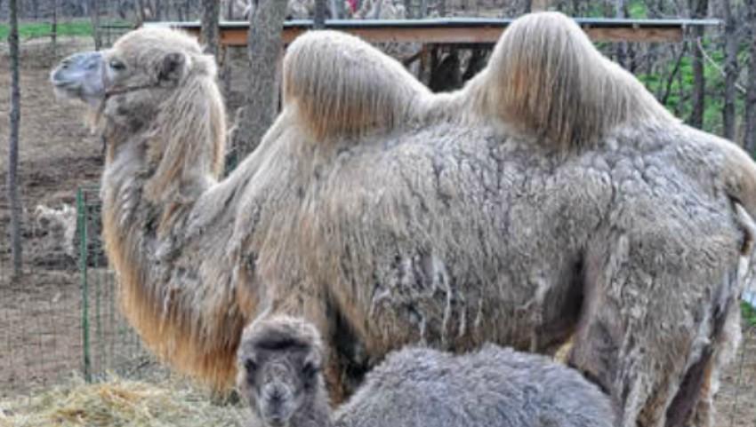 Foto: Un pui de cămilă s-a născut la Grădina Zoologică din Chişinău