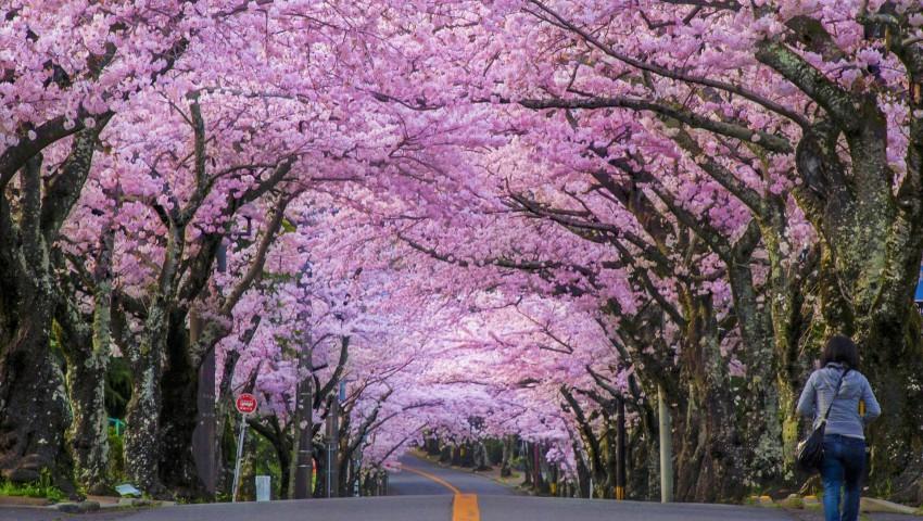Foto: Pe unele străzi din Chișinău vor înflori cireșii japonezi
