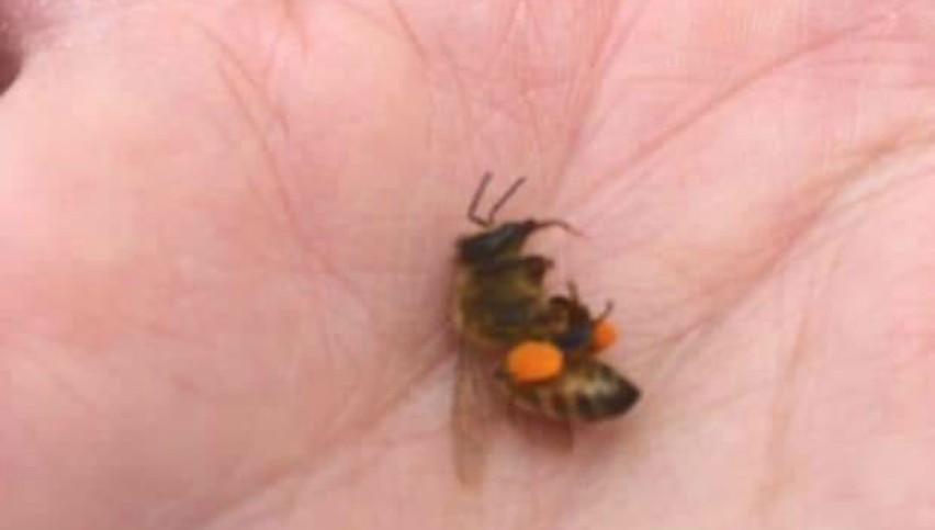 Mor albinele. Care este motivul?