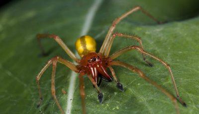 Unul dintre cei mai otrăvitori păianjeni din lume a fost descoperit și în Moldova. Avertismentul specialiștilor