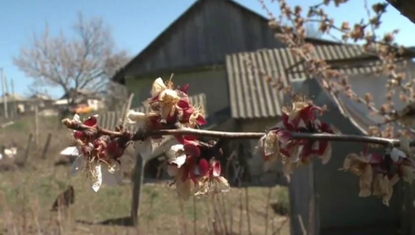 Foto: În unele localități din Moldova au înghețat florile de cais