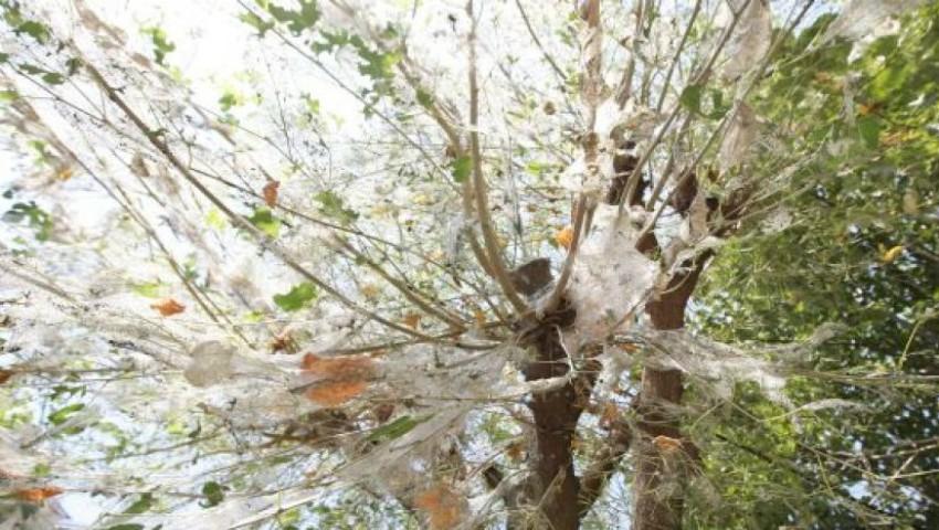 Foto: 7.000 de hectare de pădure invadate de omizi, în raionul Strășeni. Specialiștii bat alarma!