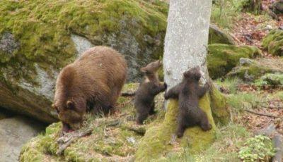 Condiții de trai mai bune pentru urși, la Grădina Zoologică