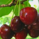 Foto: Poftiți la cireșe! Cine e vedeta de la noi care a gustat primele fructe delicioase