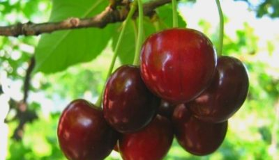 Poftiți la cireșe! Cine e vedeta de la noi care a gustat primele fructe delicioase