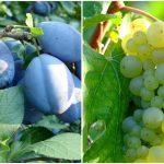 Foto: Producătorii și exportatorii autohtoni de prune și struguri pot obține granturi în cadrul Proiectului USAID
