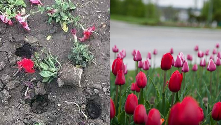 Foto: Au rupt flori de pe aleile orașului, pentru a le duce la cimitir