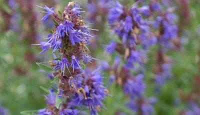 Planta sfântă ce curăță organismul este pomenită și în Biblie